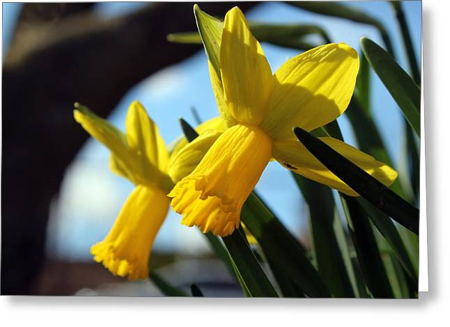 Daffodils Greeting Card by Joseph Skompski