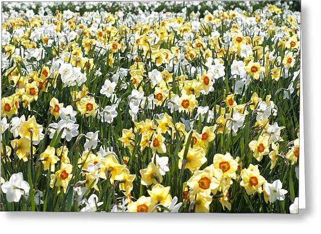 Greeting Card featuring the photograph Daffodils by Lana Enderle
