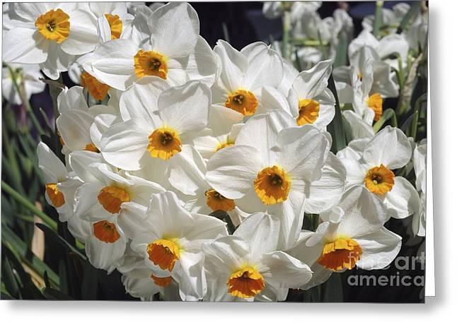 Daffodils (narcissus 'geranium') Greeting Card