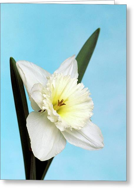 Daffodils (narcissus 'mount Hood') Greeting Card