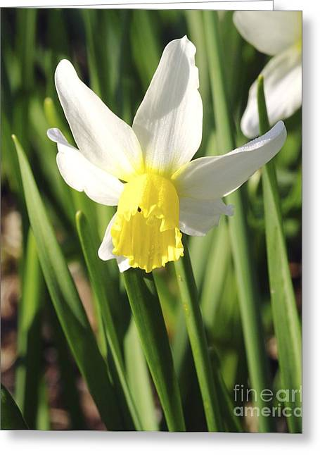 Daffodils (narcissus 'pipit') Greeting Card