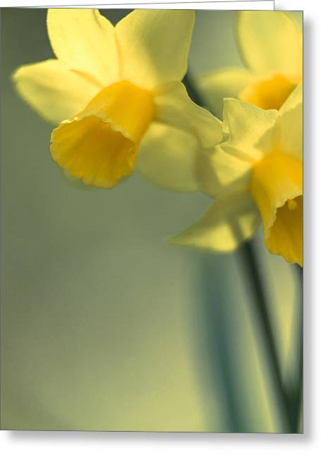 Daffy-down-dilly  Greeting Card by Caitlyn  Grasso