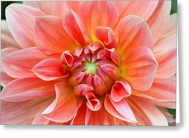 Dahlia 2 Greeting Card