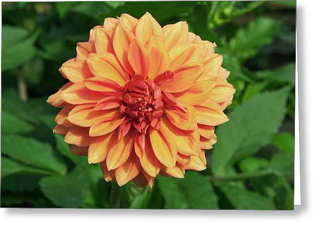Dahlia 'askwith Lorie' Greeting Card by Adrian Thomas/science Photo Library
