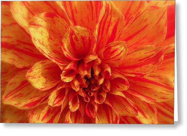 Dahlia  Greeting Card by Brian Chase