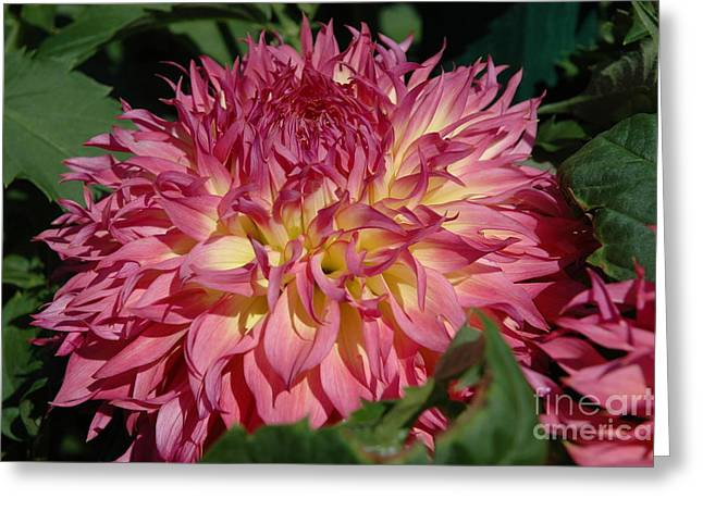Greeting Card featuring the photograph Dahlia by Christiane Hellner-OBrien