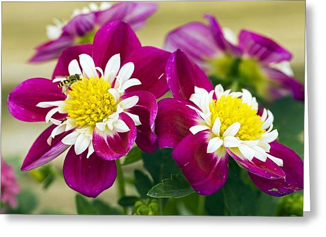 Dahlia Dahlietta 'surprise Becky' Greeting Card by Science Photo Library