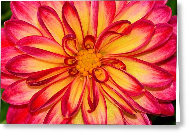 Dahlia Details Greeting Card
