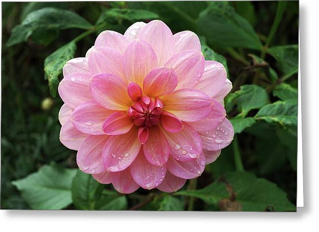 Dahlia 'dusky Harmony' Greeting Card
