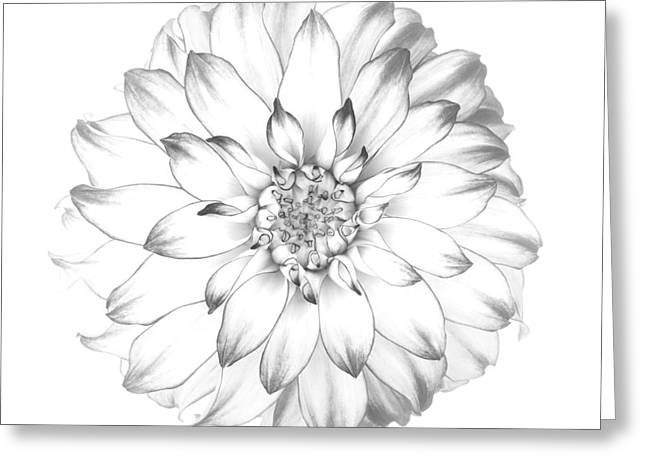Dahlia Flower As Drawing In Black And White. Greeting Card by Rosemary Calvert