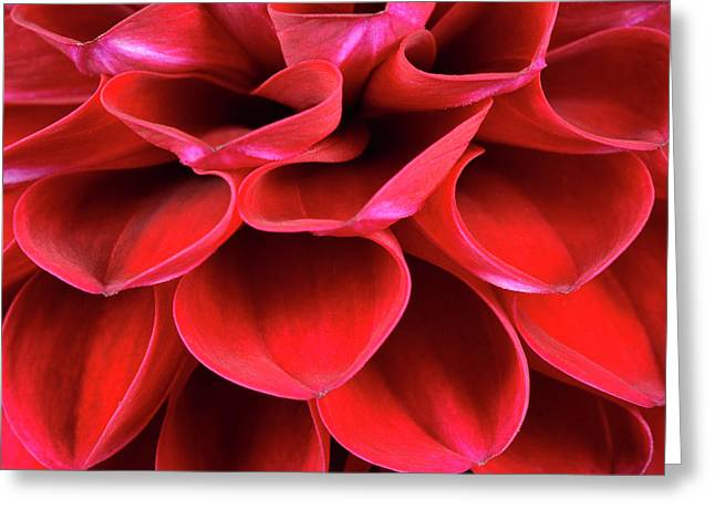 Dahlia Flower Petals Abstract Greeting Card by Nigel Downer