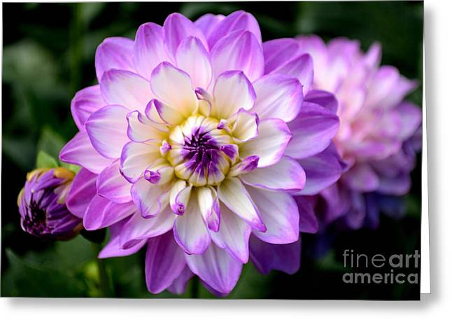 Dahlia Flower With Purple Tips Greeting Card