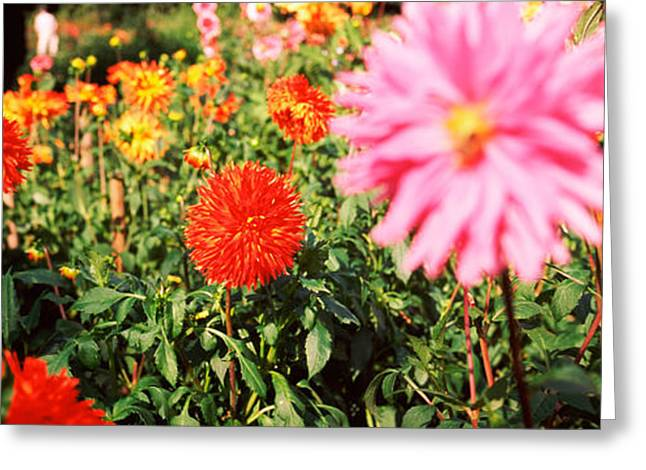 Dahlia Flowers In A Park, Stuttgart Greeting Card