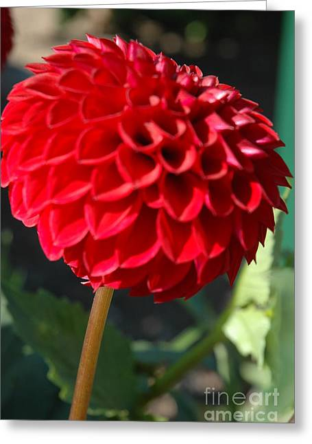 Greeting Card featuring the photograph Dahlia IIi by Christiane Hellner-OBrien