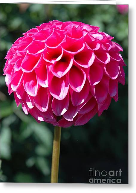 Greeting Card featuring the photograph Dahlia IIII by Christiane Hellner-OBrien