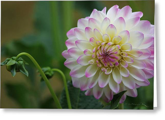 Dahlia In The Mist Greeting Card