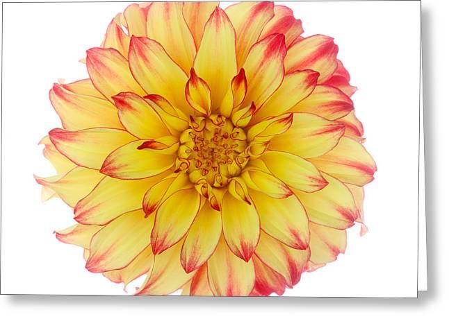 Dahlia 'lady Darlene' On White Background Greeting Card by Rosemary Calvert