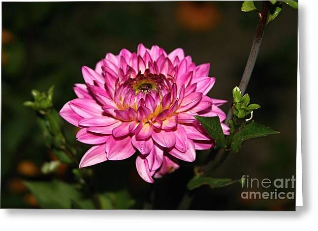 Dahlia Lucca Johanna Greeting Card
