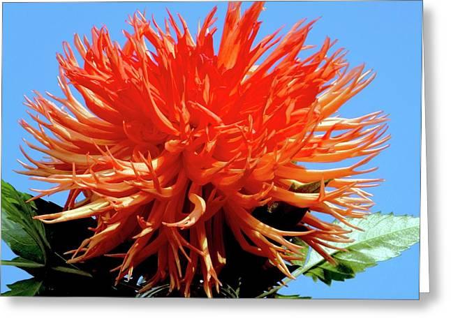 Dahlia 'mel's Orange Marmalade' Greeting Card by Ian Gowland