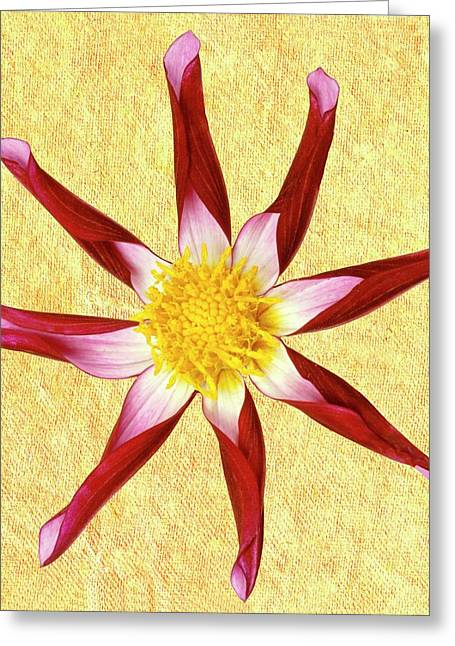 Dahlia 'midnight Star' Greeting Card by Archie Young