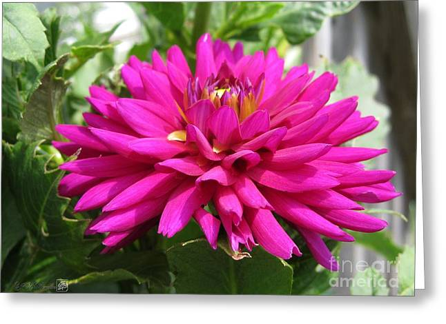 Dahlia Named Andreas Dahl Greeting Card by J McCombie