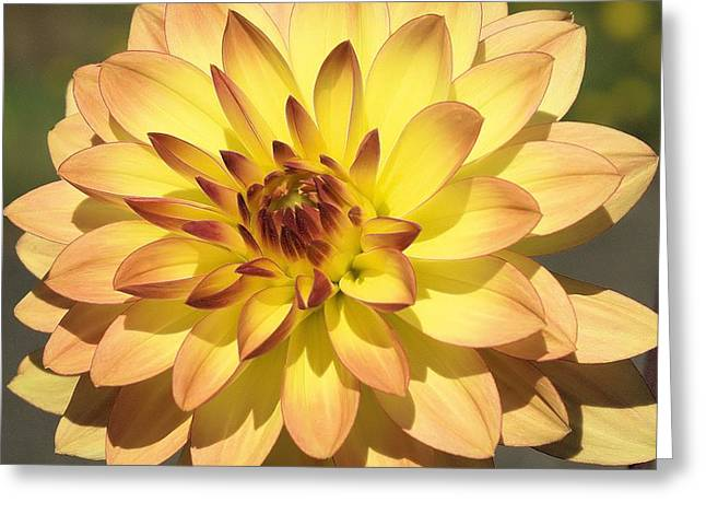 Dahlia Number Five Greeting Card