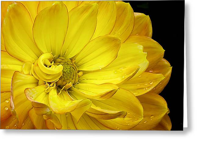 Dahlia Pedals Greeting Card by Gary Neiss