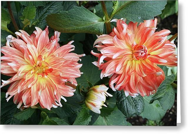 Dahlia 'penny Lane' Flowers Greeting Card by D C Robinson