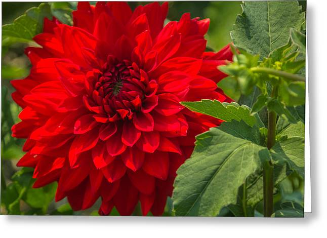 Dahlia Perfection Greeting Card