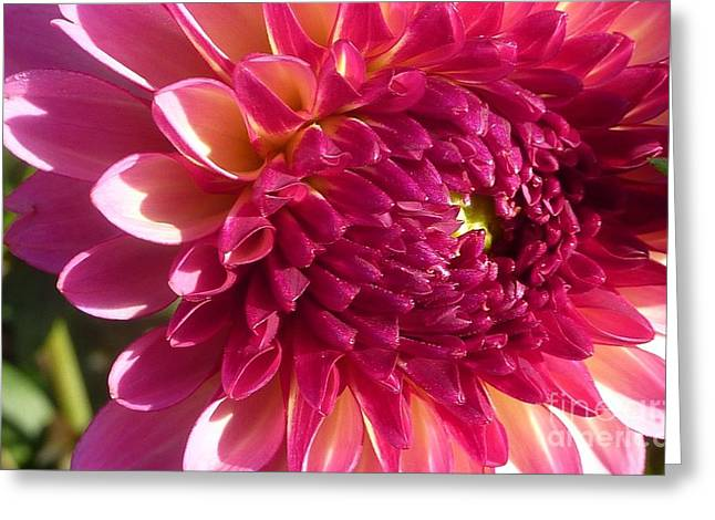 Greeting Card featuring the photograph Dahlia Pink 1 by Susan Garren
