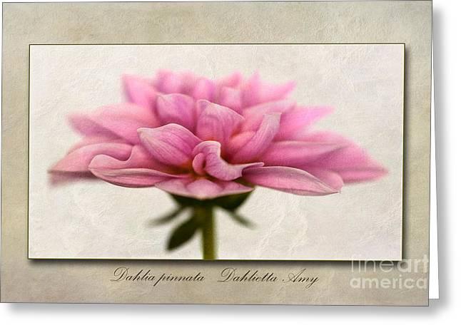 Dahlia Pinnata  Greeting Card by John Edwards