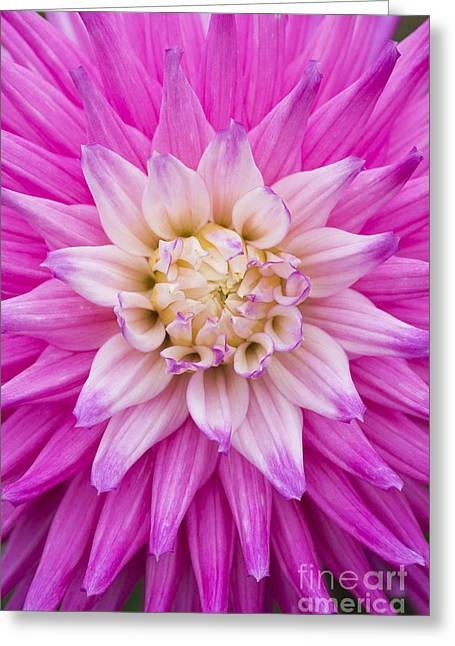 Dahlia Ruskin Andrea Flower Greeting Card by Tim Gainey