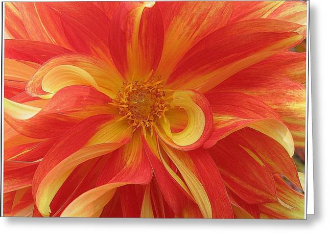 Dahlia Unfurling In Yellow And Red Greeting Card by Dora Sofia Caputo Photographic Art and Design