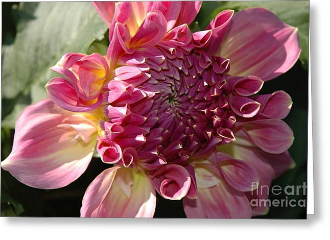 Greeting Card featuring the photograph Dahlia V by Christiane Hellner-OBrien