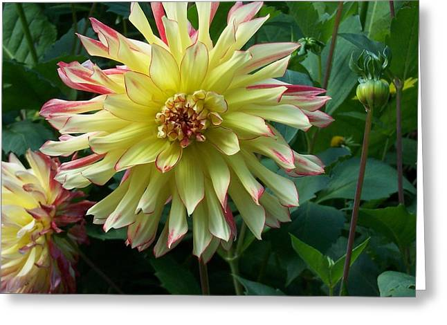 Dahlia Vo Vo Gal Greeting Card by Catherine Gagne