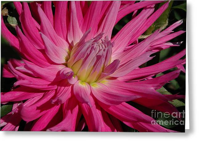 Greeting Card featuring the photograph Dahlia X by Christiane Hellner-OBrien