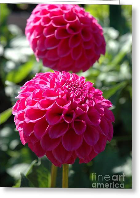 Greeting Card featuring the photograph Dahlia Xi by Christiane Hellner-OBrien