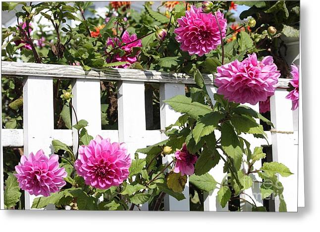 Dahlias Over The Fence Greeting Card by Carol Groenen