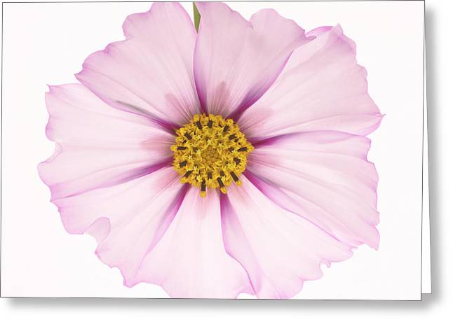Dainty Pink Cosmos On White Background. Greeting Card by Rosemary Calvert
