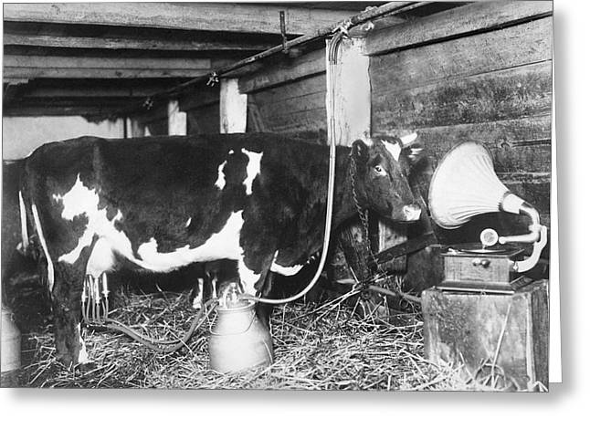 Dairy Cow Listening To Music Greeting Card by Underwood Archives