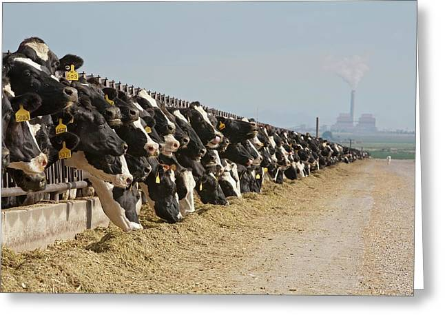 Dairy Cows Greeting Card