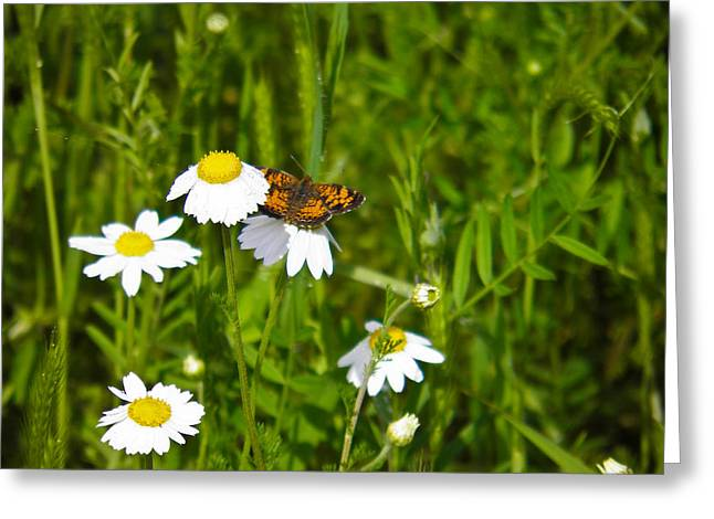 Daisey And Butterfly Greeting Card