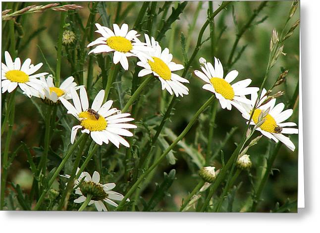 Daisies 1 Greeting Card