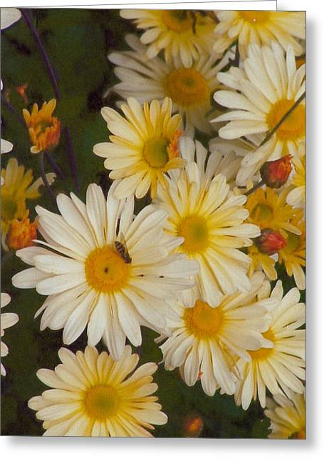 Daisies Greeting Card by Barb Baker