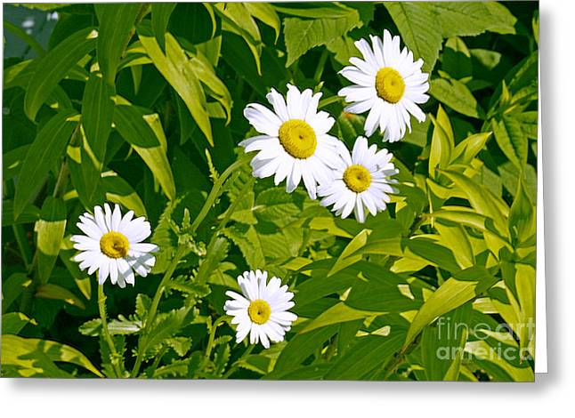 Daisies In Provincetown Greeting Card