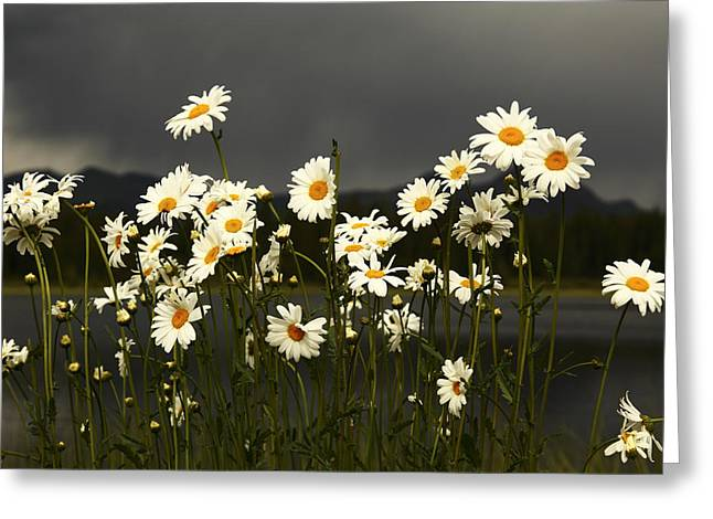 Daisies In Storm Light Greeting Card