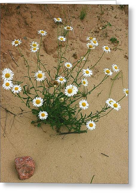 Daisies In The Sand Greeting Card by Randy Pollard
