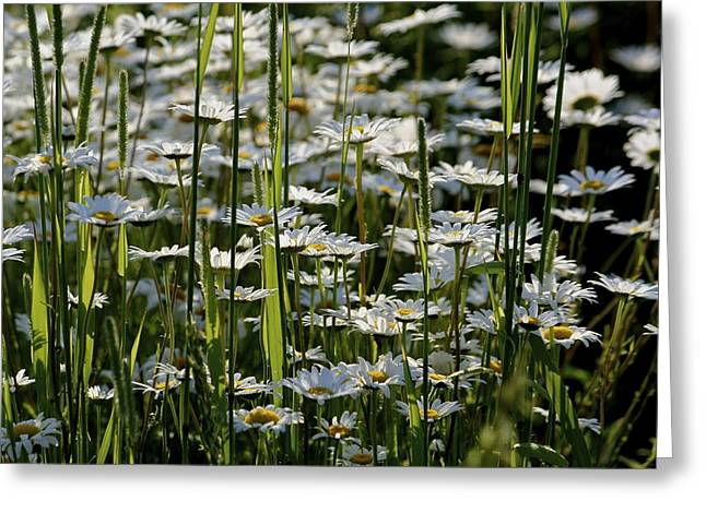 Daisies Greeting Card by Jim Gillen