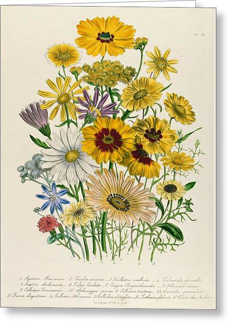 Daisies Greeting Card by Jane Loudon