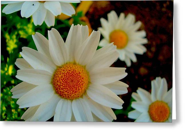 Greeting Card featuring the photograph Daisy 1 by Tamara Bettencourt